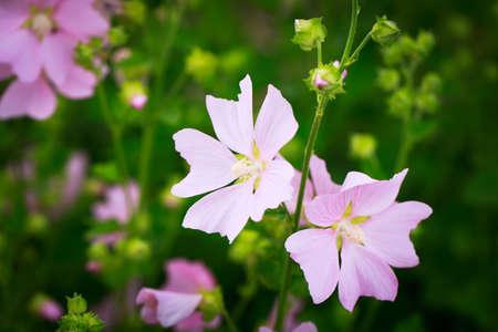 mallow: pink mallow flower