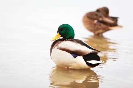 waterfowl: waterfowl ducks Stock Photo