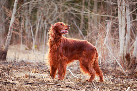 Red irish setter dog Stock Photo - 27913964