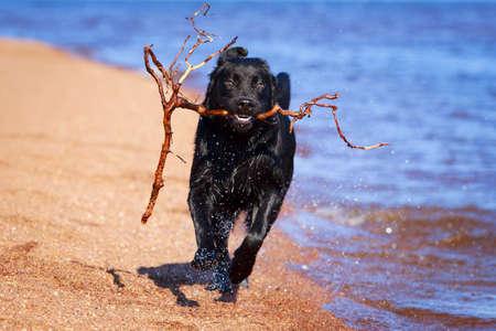 black  labrador retriever dog photo