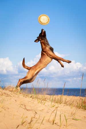 Malinois Belgian Shepherd dog
