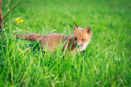 red fox pup Stock Photo - 28521939