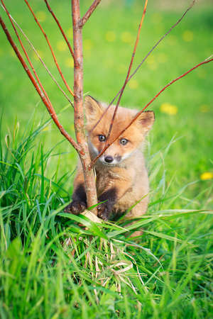 red fox pup Stock Photo - 28521940