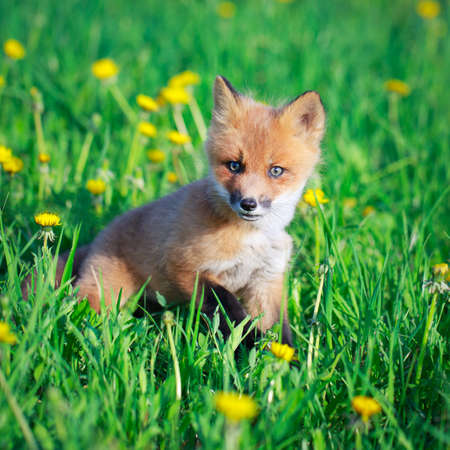 red fox pup Stock Photo - 28521942