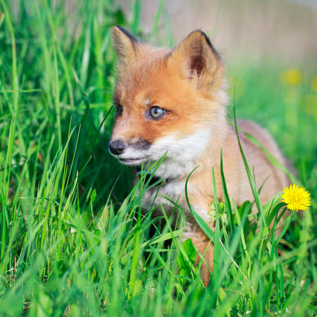 red fox pup Stock Photo - 28521944