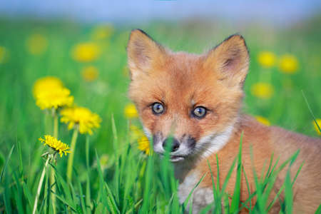 red fox pup Stock Photo - 28521945