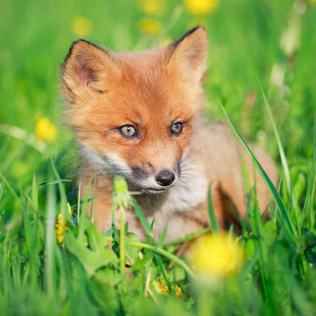red fox pup Stock Photo - 28521946