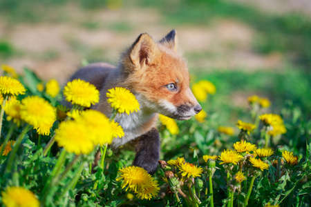red fox pup Stock Photo - 28521947