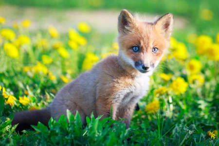red fox pup Stock Photo - 28521948