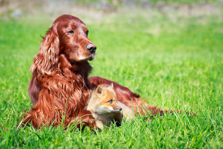 red fox pup and dog Stock Photo - 29002478