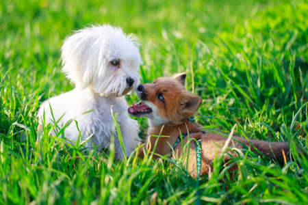 red fox pup and dog Stock Photo - 29002668