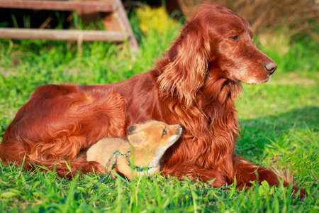 red fox pup and dog Stock Photo - 29002669