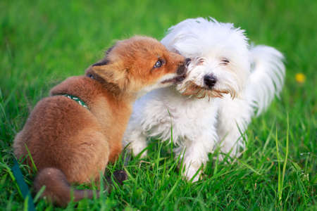 red fox pup and dog Stock Photo - 29002671
