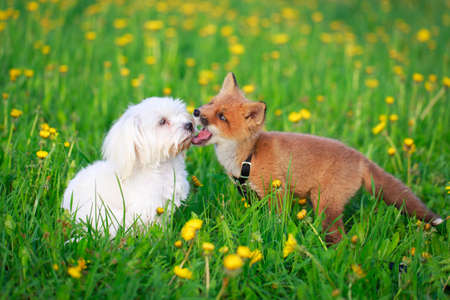 red fox pup and dog Stock Photo - 29002674