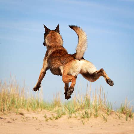 Malinois Belgický ovčák pes