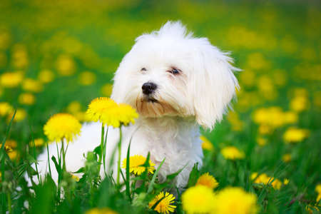 white maltese: White Maltese dog