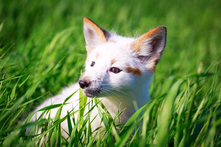 white-red fox pup Stock Photo - 29197639