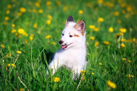 white-red fox pup Stock Photo