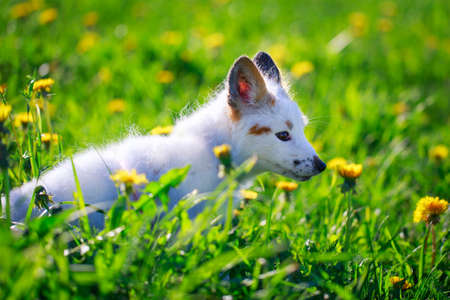 white-red fox pup Stock Photo - 29197650