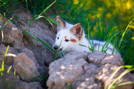 white-red fox pup Stock Photo - 29197651