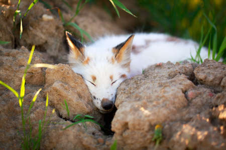 white-red fox pup Stock Photo - 29197652