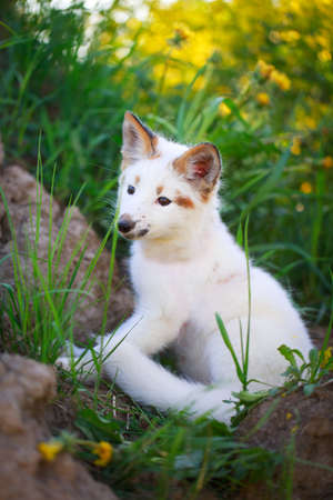 white-red fox pup Stock Photo - 29197655