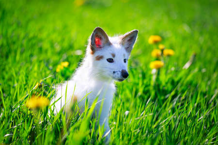 white-red fox pup Stock Photo - 29197706
