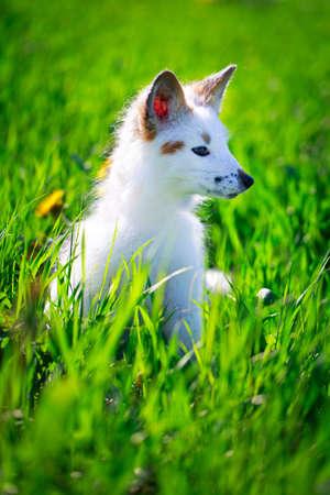 white-red fox pup Stock Photo - 29197707