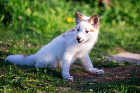 white-red fox pup Stock Photo - 29197712
