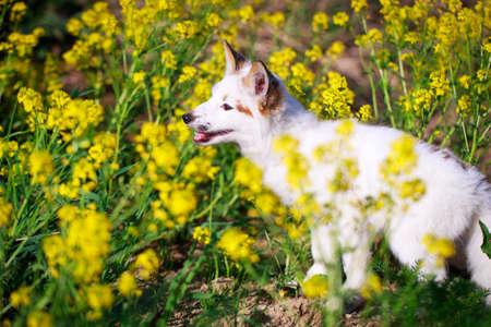 white-red fox pup Stock Photo - 29197715