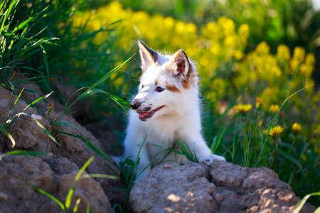 white-red fox pup Stock Photo - 29197717