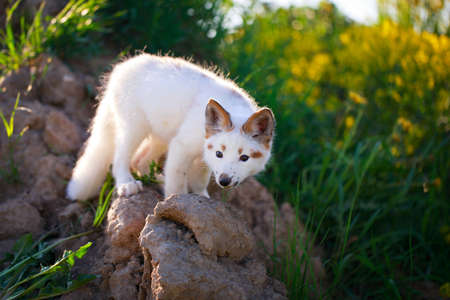 white-red fox pup Stock Photo - 29197724