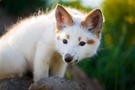 white-red fox pup Stock Photo - 29197726