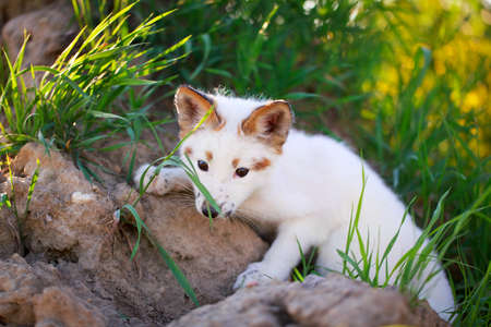 white-red fox pup Stock Photo - 29197729
