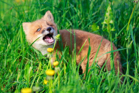 red fox pup Stock Photo - 29282619