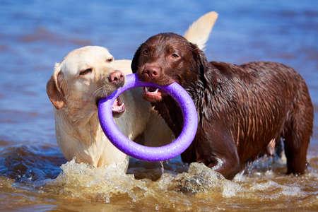two  labrador retriever dog Stock Photo