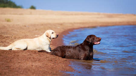 two  labrador retriever dog Archivio Fotografico