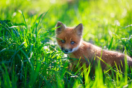 red fox pup Stock Photo - 29283534