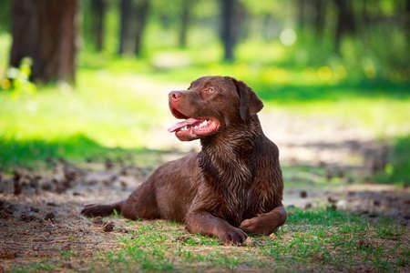 chocolate labrador retriever dog