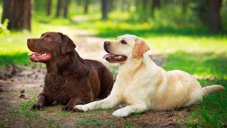 two  labrador retriever dog Banque d'images