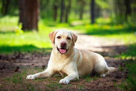 yellow labrador retriever dog