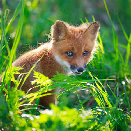 red fox pup Stock Photo - 29434956