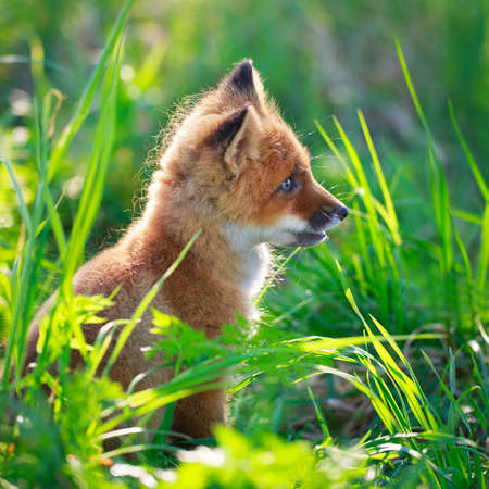 red fox pup Stock Photo - 29434957