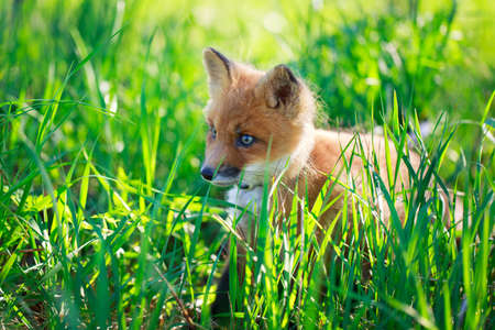 red fox pup Stock Photo - 29434958
