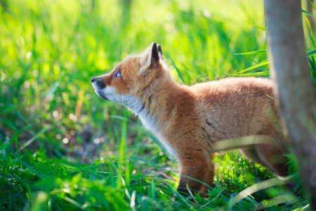 liška štěně Reklamní fotografie