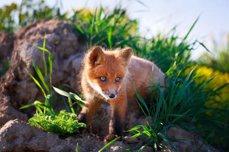 red fox pup Stock Photo - 29434963