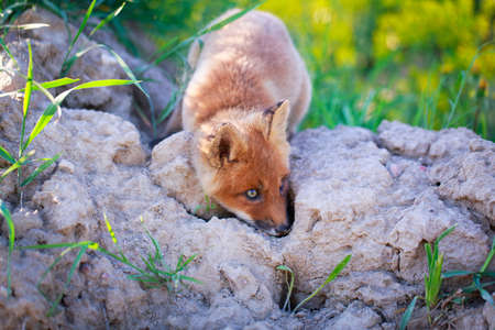 red fox pup Stock Photo - 29434964