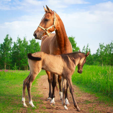 Akhal-Teke horses Stock Photo