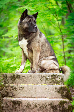 akita: akita dog