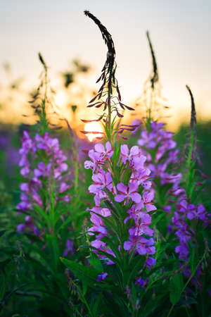 fireweed: Fireweed flower Stock Photo
